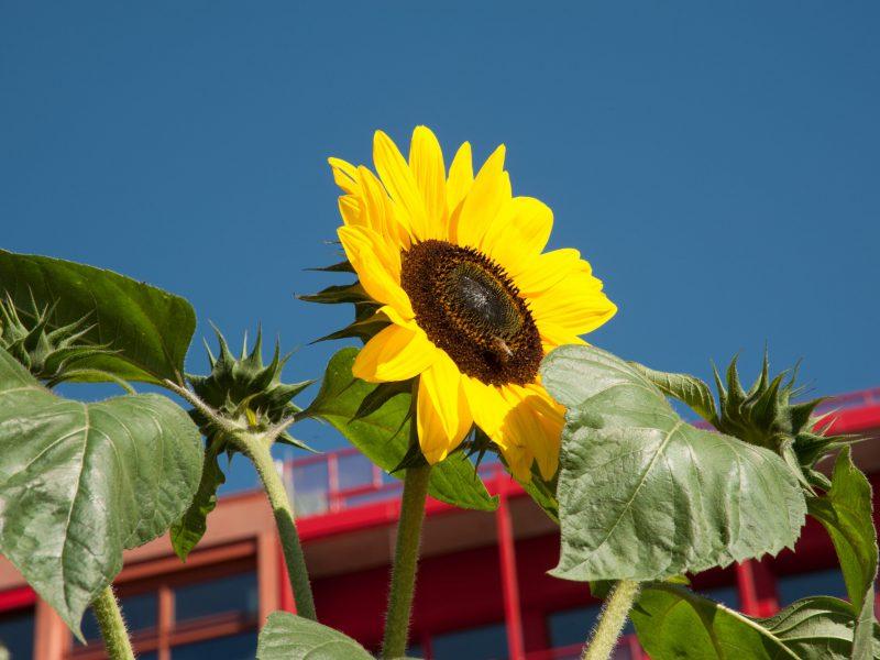 Biene bestäubt eine Sonnenblume von einem roten Haus