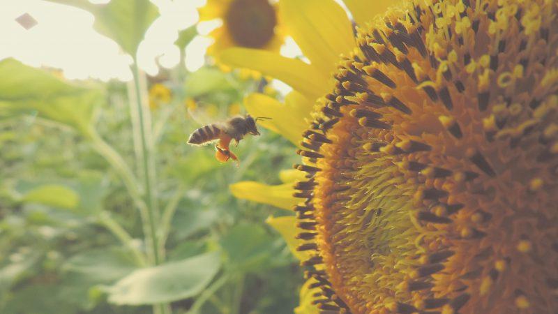 Biene bestäubt Sonnenblume