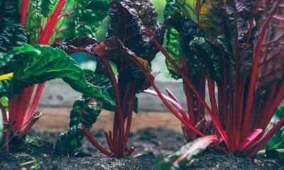 Salatpflanzen wachsen aus der Erde