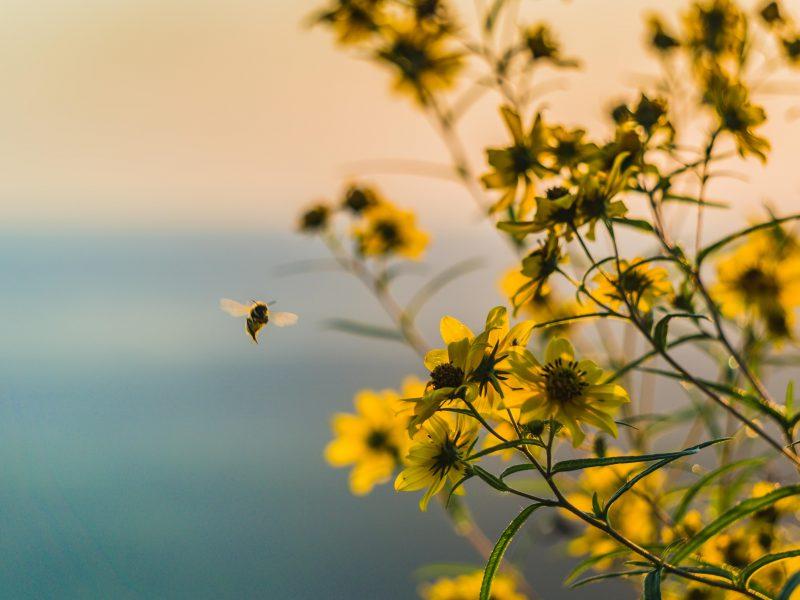 Biene bestäubt gelbe Blumen