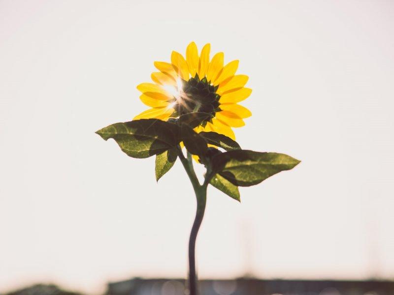 Eine Sonnenblume in der Sonne