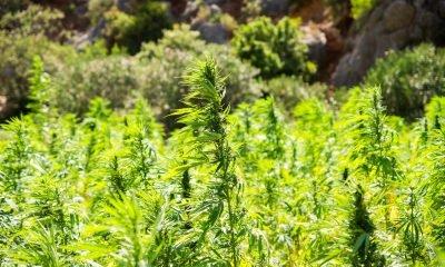 Feld voller Hanf-Pflanzen