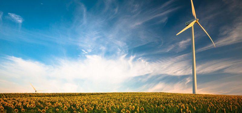 Sonnenblumenfeld mit Windrad im Hintergrund
