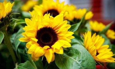 Das Bild zeigt Sonnenblumen, die zu einem Sonnenblumenstrauß zusammengebunden sind.