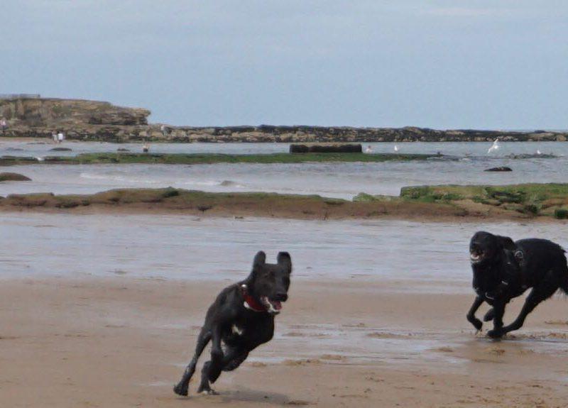 Es sind zwei Hunde zu sehen, die am Strand entlang rennen