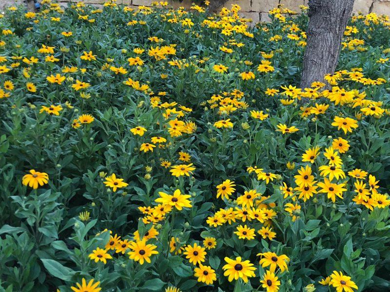 Malta hat eine vielfältige Pflanzenwelt. Gelbe Blumen im Bild.
