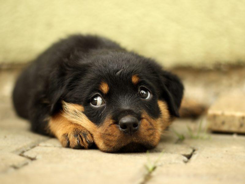 Es ist ein besorgt guckender Hund zu sehen